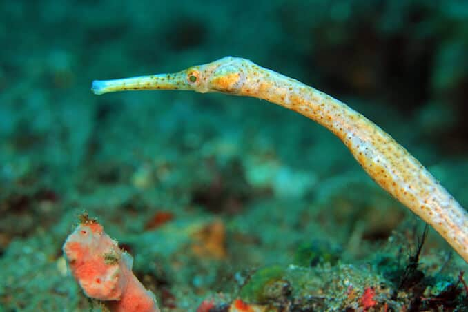 Pipefish Species