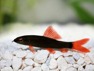 Rainbow Shark Care Guide, Feeding, Size, and Tankmates Banner
