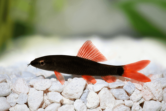 rainbow shark care guide feeding size and tankmates fishkeeping