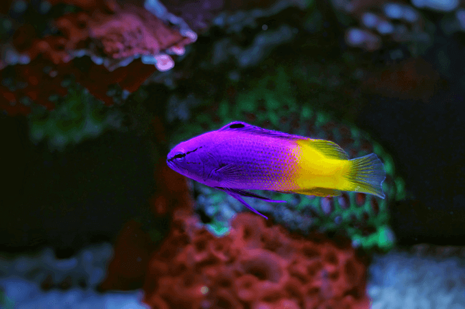 Royal Gramma Female