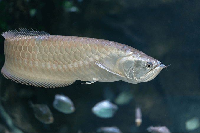 Silver Arowana Care Guide Tank Size Diet And More Fishkeeping