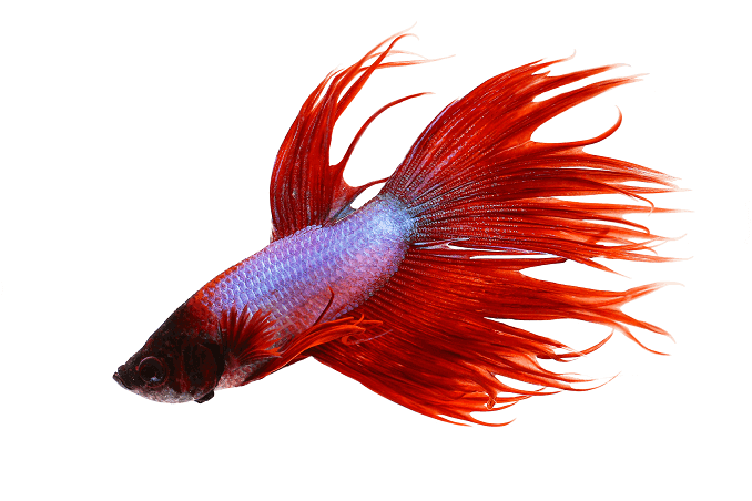 Behavior Crowntail Betta