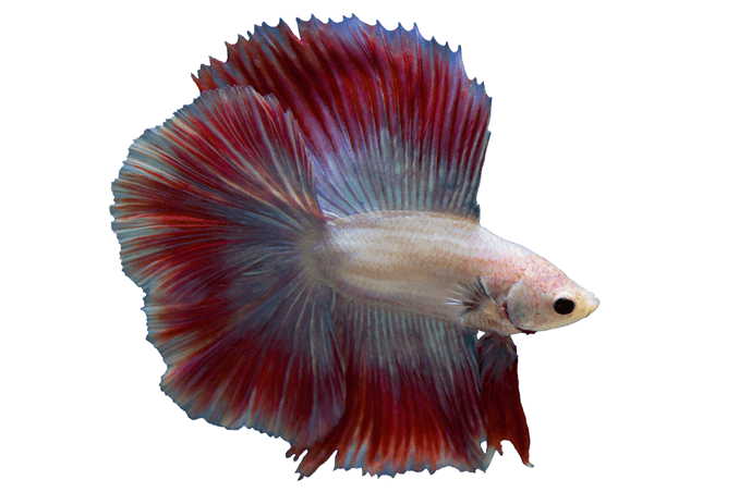 Betta Tank Requirements