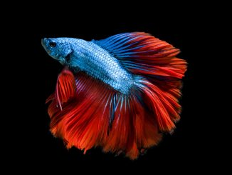 Crowntail Betta Care Guide, Lifespan, Facts and Compatibility Banner