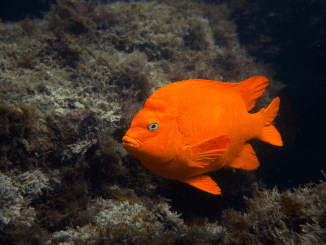 Garibaldi Fish The California State Fish Banner
