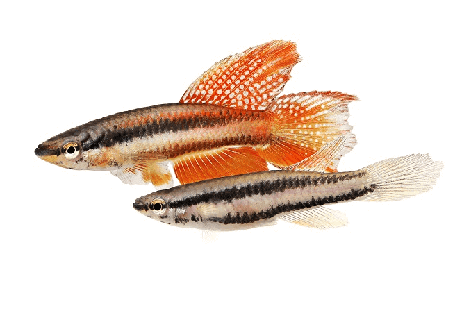 Pair of Lagos Red Killifish