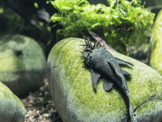 Bristlenose Pleco Care Guide, Diet, Habitat and Breeding Banner