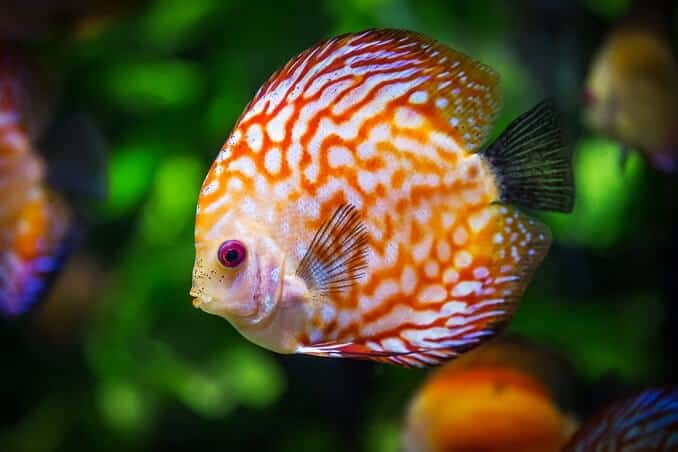These Beautiful And Graceful Fish Can Grow To Be Quite Large Therefore Require A Larger Tank Minimum Size Of 25 Gallons