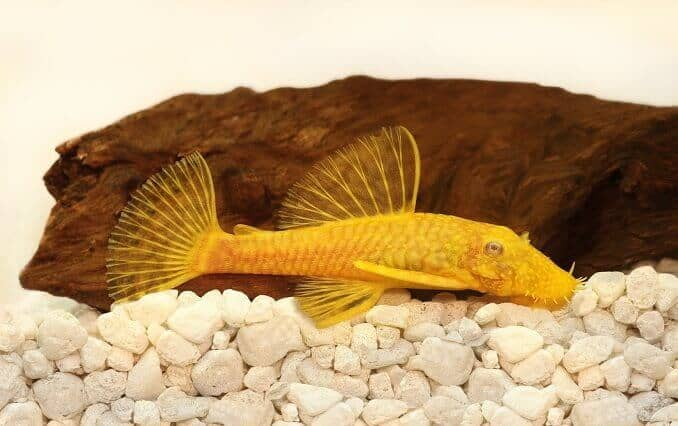 Golden Ancistrus