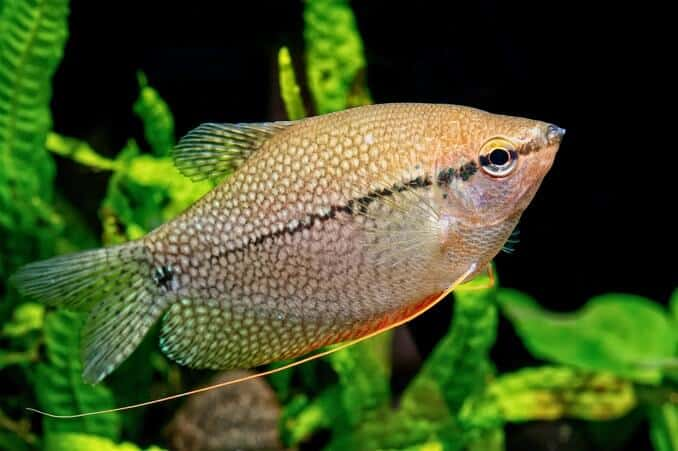 17 most popular freshwater fish fishkeeping worldthe pearl gourami is a relatively large, but peaceful fish and one of the most easy to keep gouramis