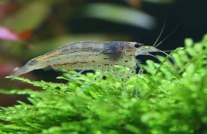 Amano Shrimp on java moss