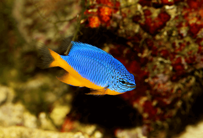 Azure Damselfish