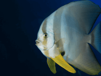 Batfish Care Guide, Tank Conditions, Tank Mates and Diet Banner