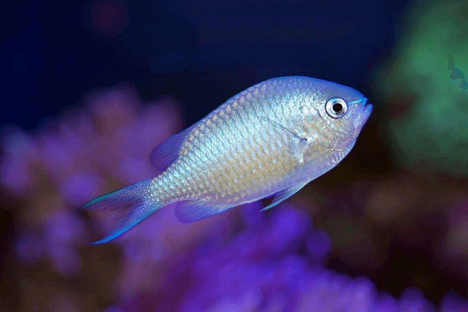 BlueGreen Chromis