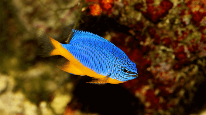 Damselfish Complete Care Guide for Blue, Yellow and More Banner