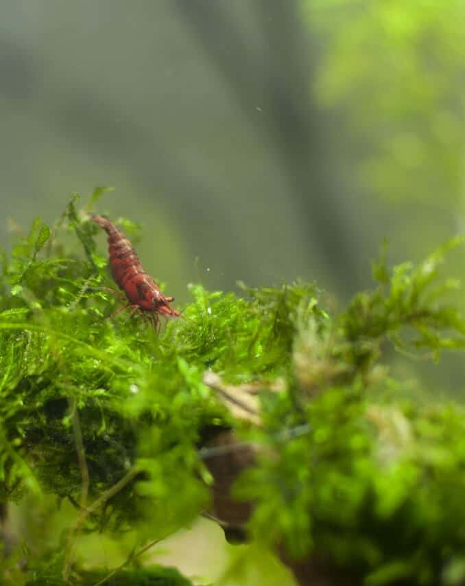 Red Cherry on java moss