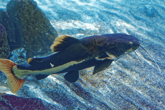 Redtail Catfish Appearance
