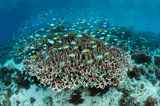 School of Damselfish