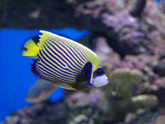 Emperor Angelfish The Complete Care Guide Banner