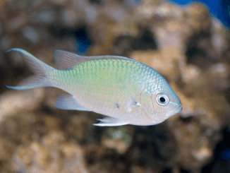 Green Chromis Care Guide, Reef Compatibility, Diet and More Banner