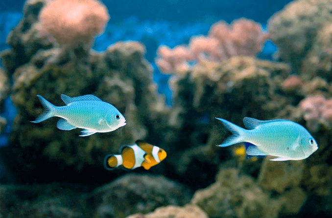 Compatibilité Green Chromis