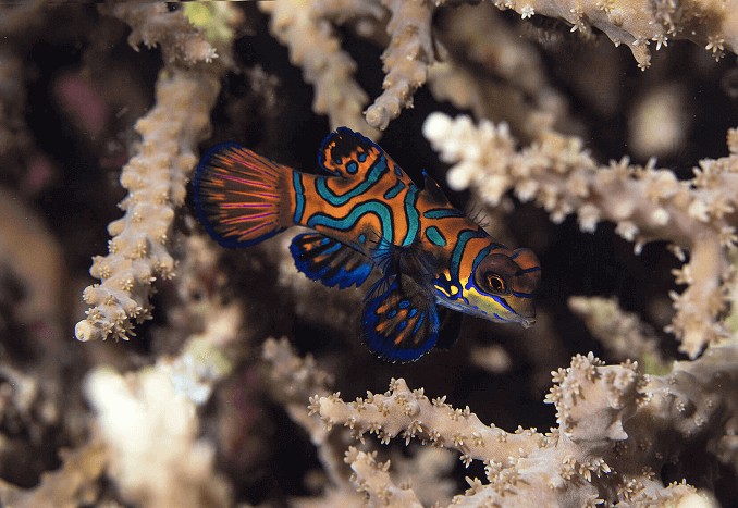 Striped Mandarinfish