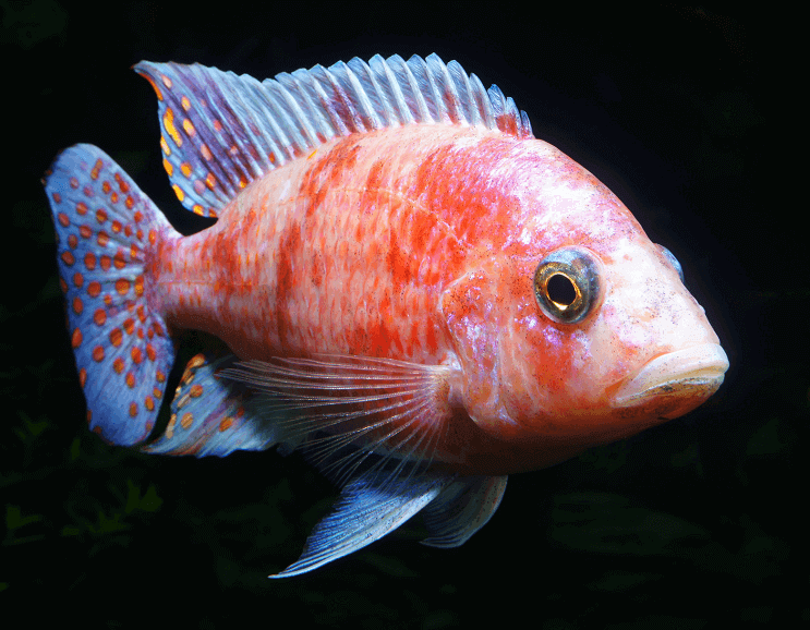 Peacock Cichlid: Varieties, Care Guide, Tank Mates and More