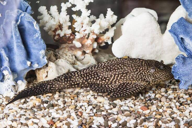 Plecostomus Complete Guide Species Care Tank Requirements