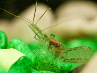 Ghost Shrimp Complete Care Guide, How to Breed and More Banner