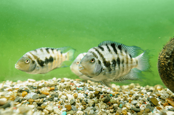 Male and Female Convict Cichlid
