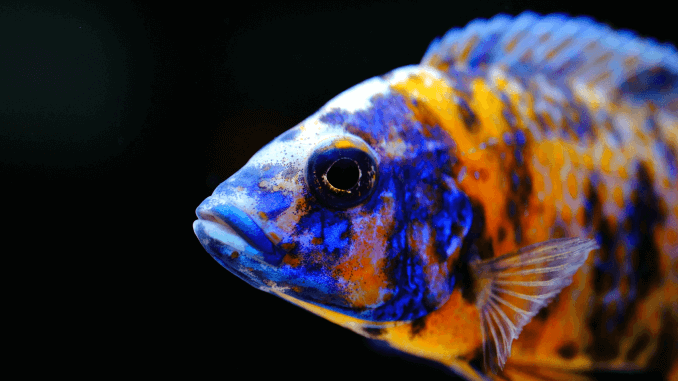 Peacock Cichlid Varieties, Care Guide, Tank Mates and More Banner