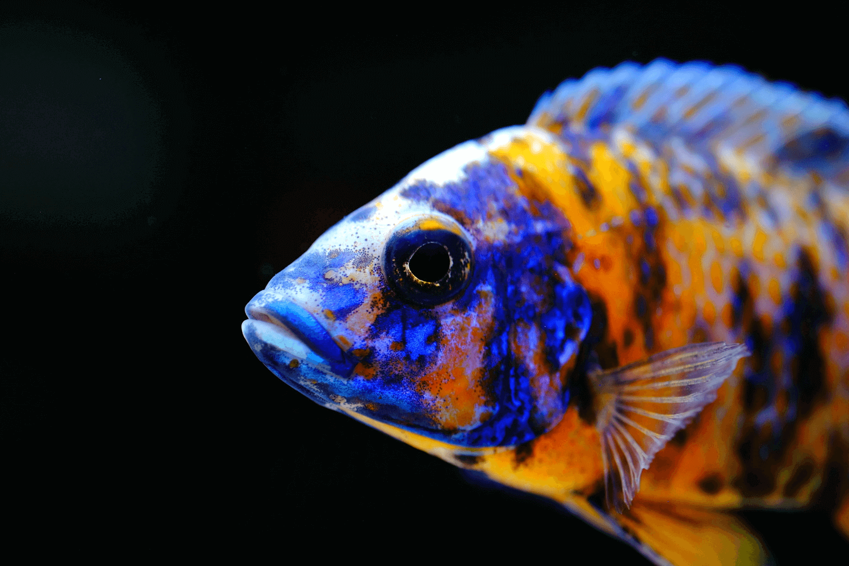 Peacock Cichlid Varieties Care Guide Tank Mates And More Fishkeeping World