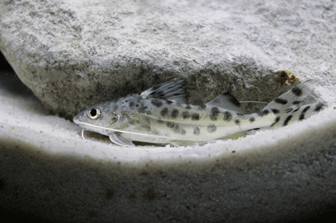 Pictus Catfish Swimming