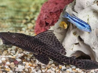 Plecostomus Complete Guide Species, Care, Tank Requirements Banner