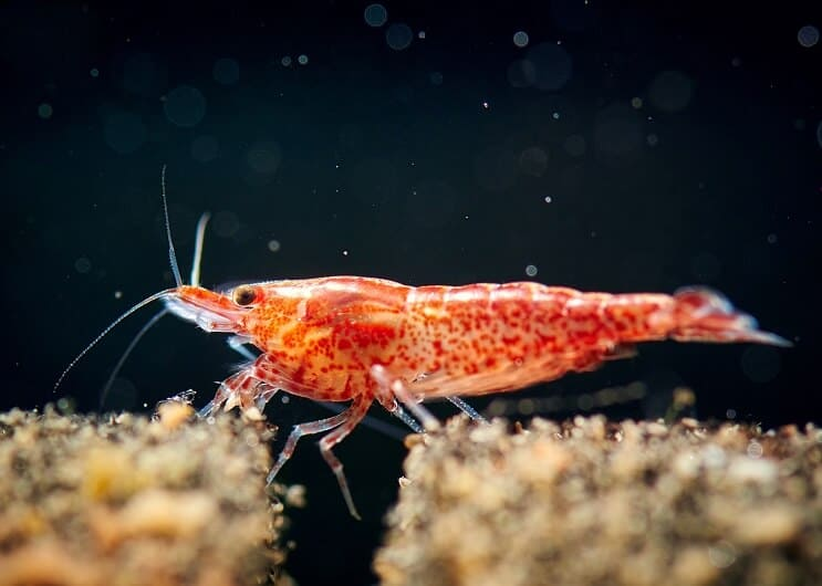 Cherry Shrimp Close Up
