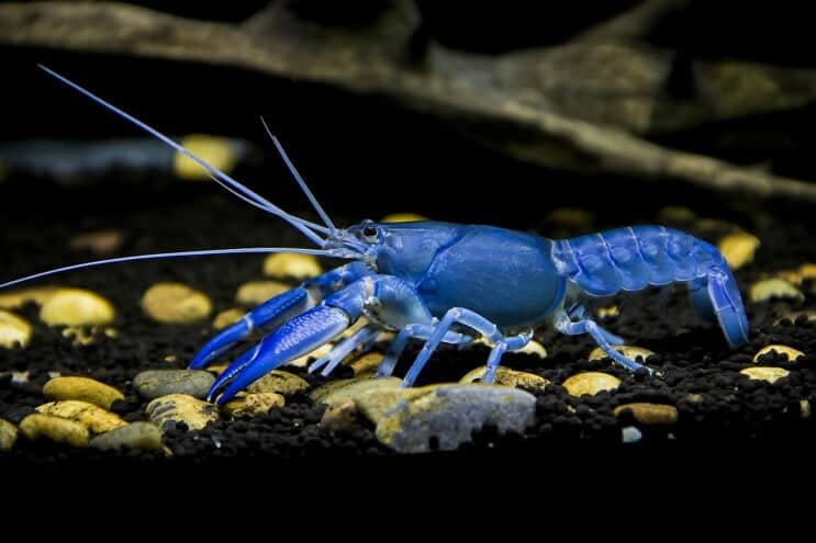 Crayfish Cherax destructor