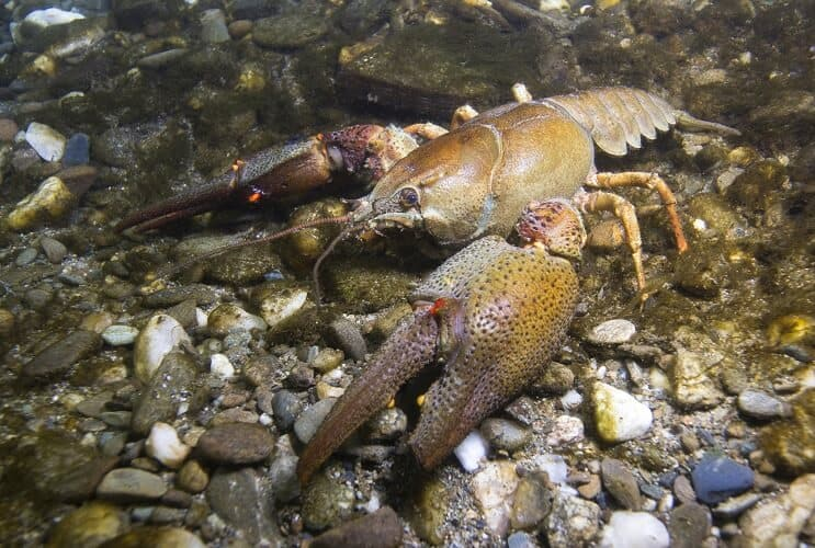 Crayfish in Natural Habitat