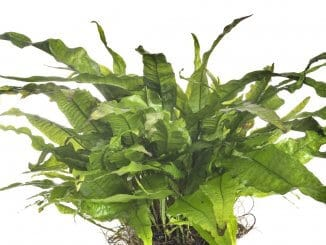 Java Fern Complete Care Guide Banner