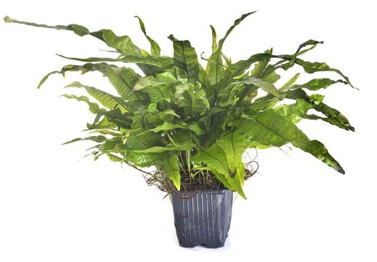 Java Fern: Complete Care Guide (Species, Planting and