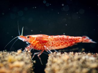 The Ultimate Guide to the Cherry Shrimp (Care, Grading, Breeding)