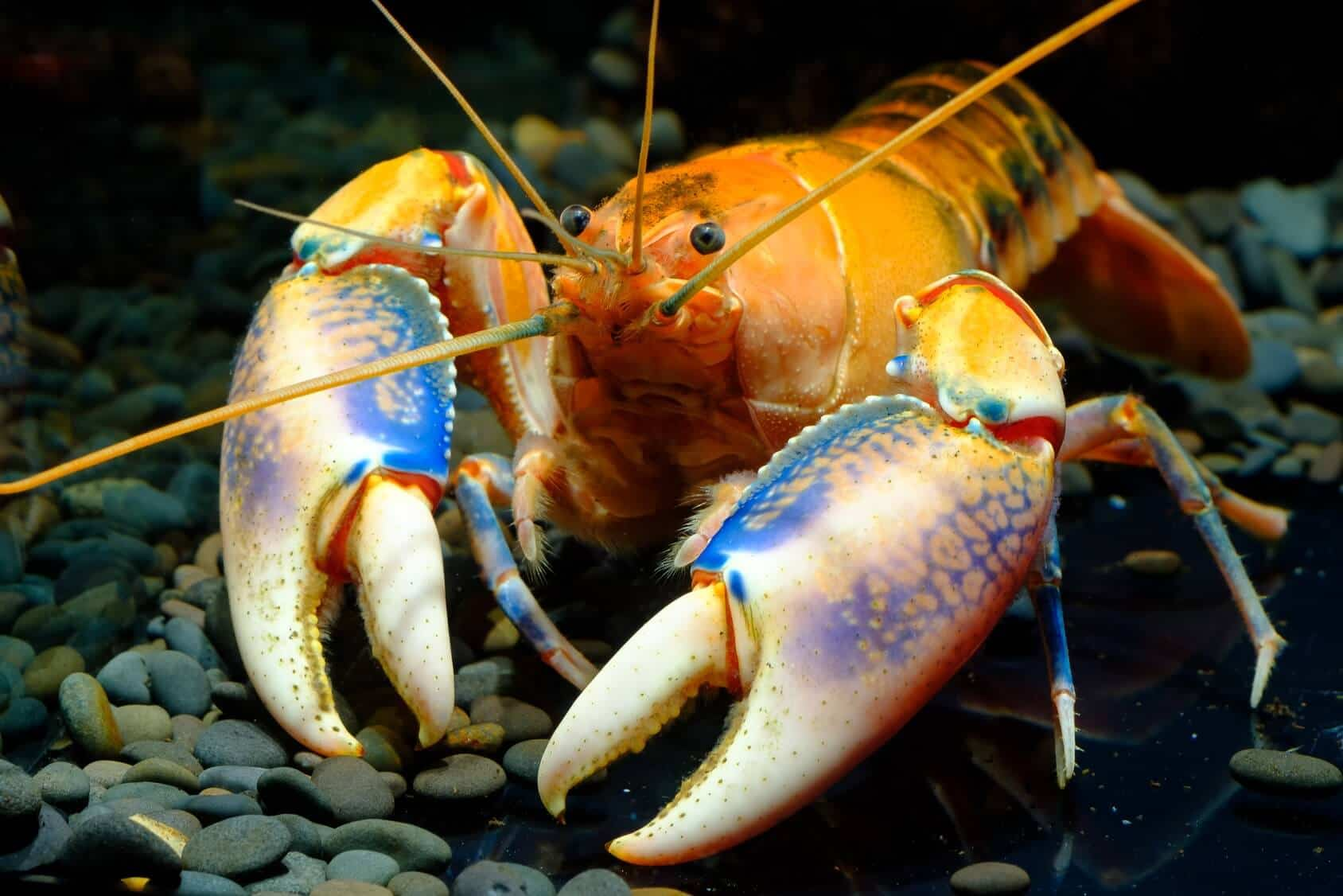 What Do Crayfish Eat In The Wild And In Your Aquarium Fishkeeping World