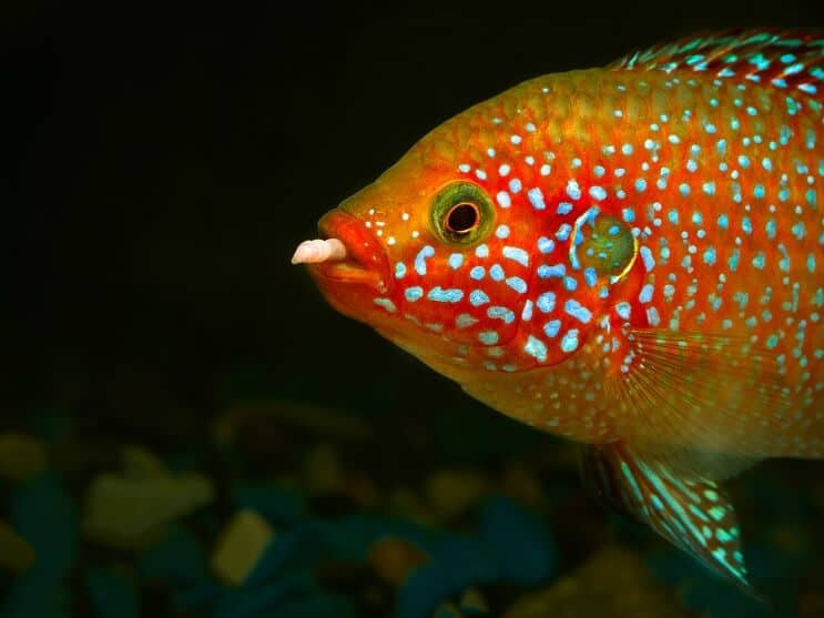African Jewelfish Feeding