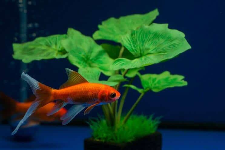 Comet Goldfish: Size, Lifespan, Care Guide and More… | Fishkeeping World
