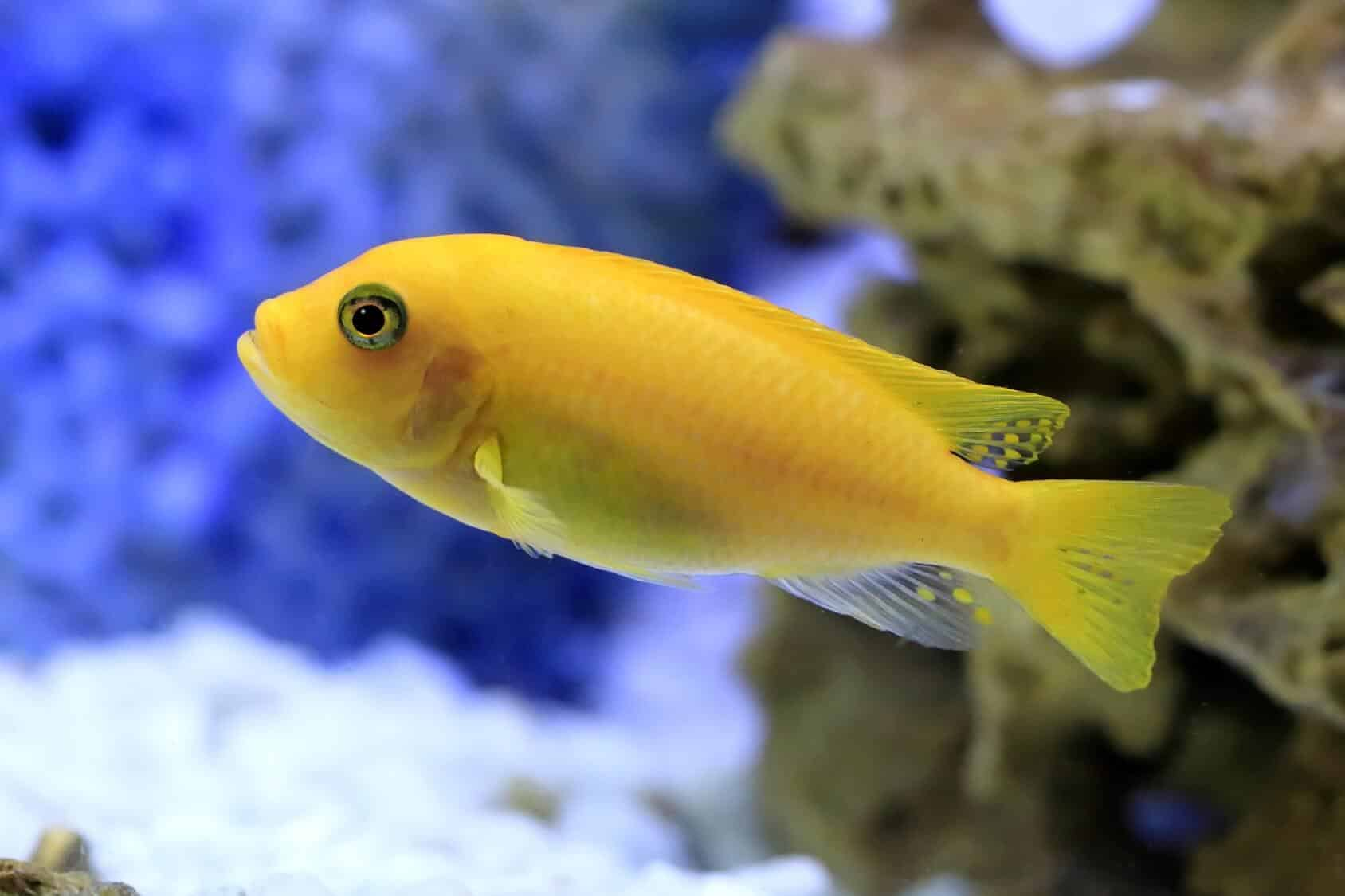 Cichlids Complete Guide African South American Dwarf And More Fishkeeping World