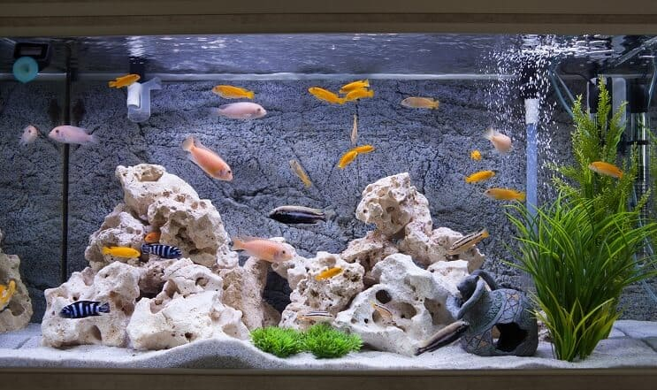 Cichlids in an Aquarium