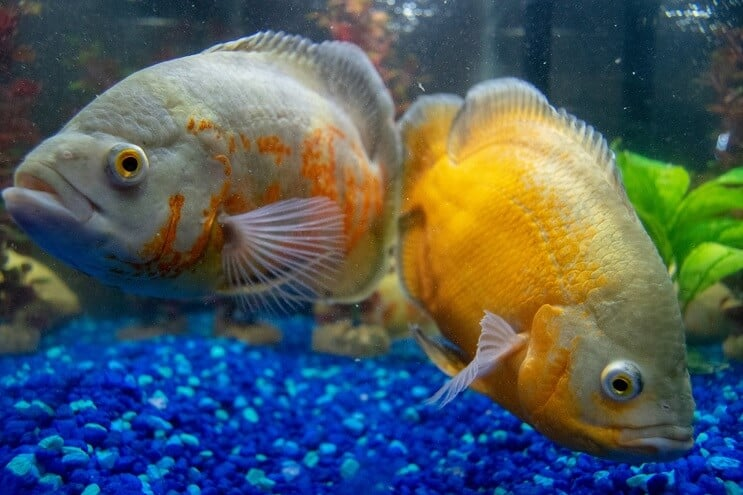 Cichlids swimming in an aquarium