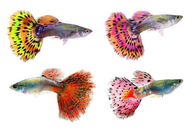 Different Colors of Guppies