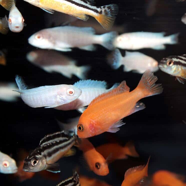 Mix of African Cichlids