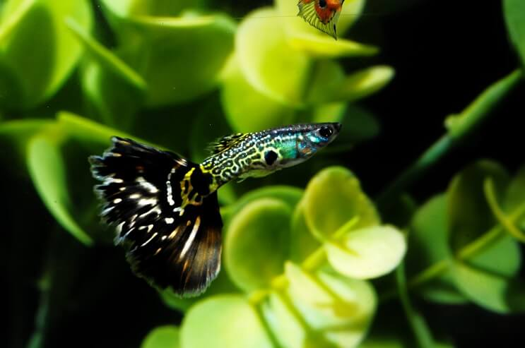 Patterned Guppy Fish