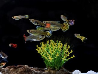 The Complete Guppy Care Guide Breeding, Tank Requirements, Fancy Varieties and More Banner